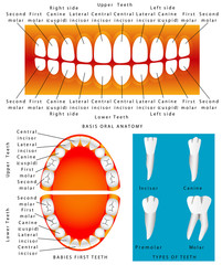 Human - Anatomy of children teeth