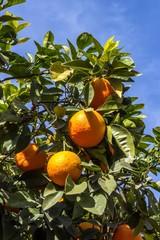 OrangenZweig