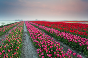 colorful tulip fields at sunset