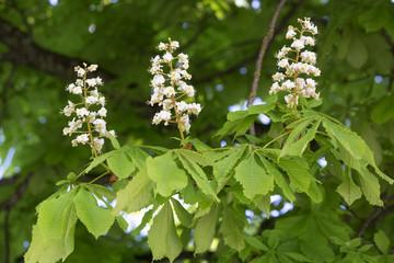 Blühende Rosskastanie (Aesculus hippocastanum)