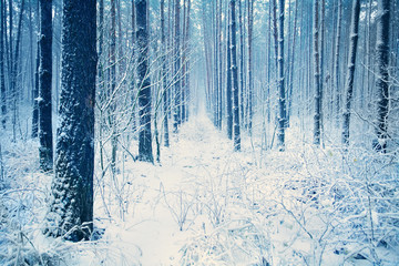 Pine forest covered with snow for background