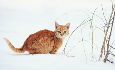Cute little red kitten walking in the snow