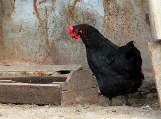 black chicken in a poultry yard