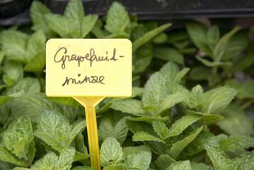 Grapefruitminze
