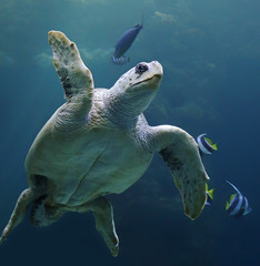 Close-up view of a Loggerhead sea turtle - Caretta caretta