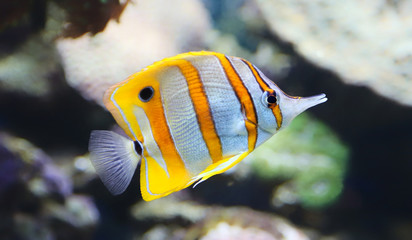 Close-up view of a Butterflyfish - Chelmon rostratus