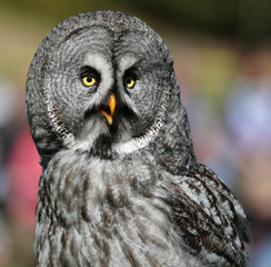 Close-up view of a Great Grey Owl - Strix nebulosa