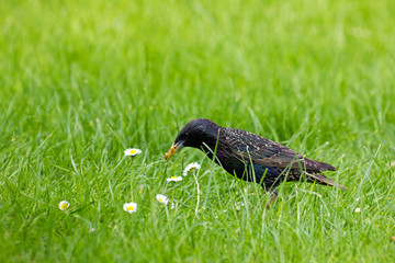 Starling gathering mealworms