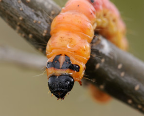 Caterpillar of an insect