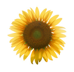 close up big yellow sunflower in isolate background