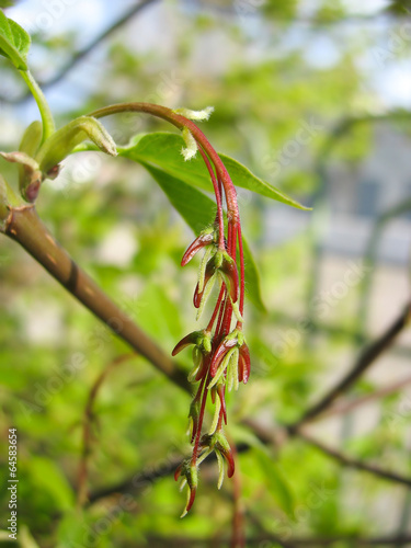 Spring. Young red maple seed