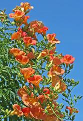 fleur de bignone