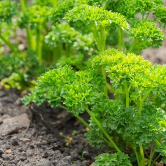 Petersilie im Garten - parsley in garden 04