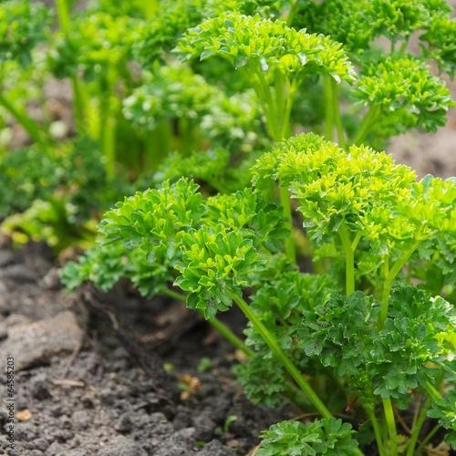 canvas print picture Petersilie im Garten - parsley in garden 04