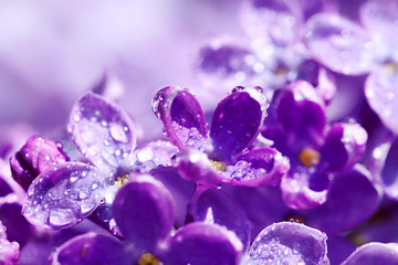 flowers of a lilac blossom in the spring