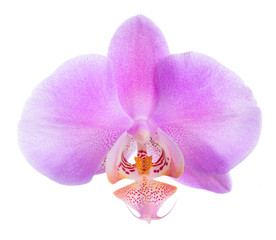 Blooming beautiful lilac orchid is isolated on white, closeup