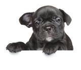Puppy above white banner - 64587691