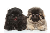 Pekinese puppies posing in studio - 64587830