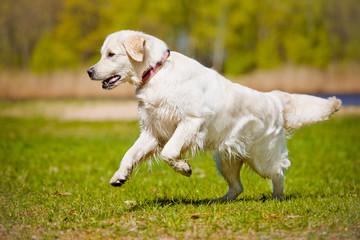 beautiful golden retriever dog outdoors