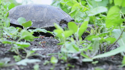 Freshwater turtle in grass