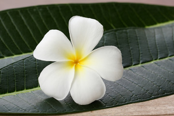 white frangipani flower and leaf