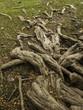 Raices de Patagua. Árbol de costa