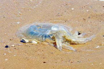 méduse  échoué sur la plage