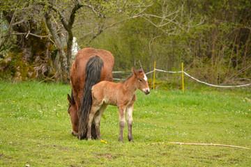 caballo y potro en un prado de hierba verde