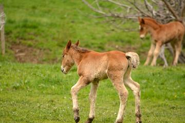 dos potros de color marron en un prado verde