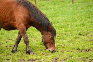 caballo de color marron comiendo hierba un un prado verde
