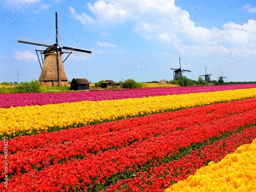 Vibrant tulips fields with windmills, Netherlands - 64596272