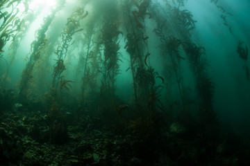 Giant Kelp 2
