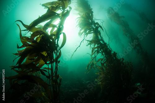 Fotobehang Water planten Giant Kelp 1