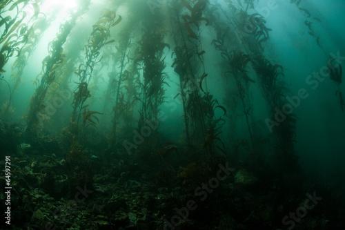 Tuinposter Koraalriffen Giant Kelp 2