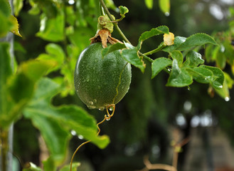 Passion Fruit on branch