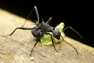 Macro of a tropical ant (polyrhachis sp) eating a bug