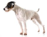 jack russel terrier - 64599227