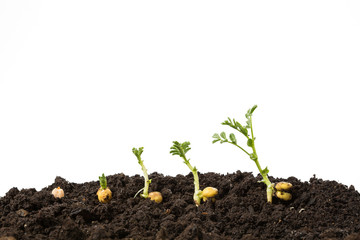 chickpeas germination in soil isolated on white