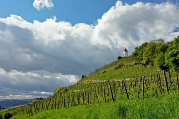 Vineyard in Maribor