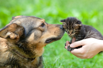 Big dog sniffing little kitten in female hands