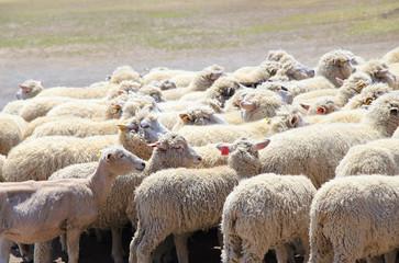 羊の群れ 未年年賀状
