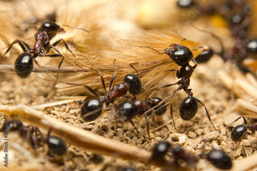 Black worker ants dragging vegetation to the colony