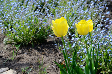 Beautiful yellow tulips in the garden