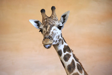 Funny giraffe shows tongue.