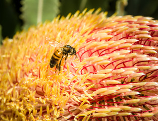 Bee on Bottlebrush Bent