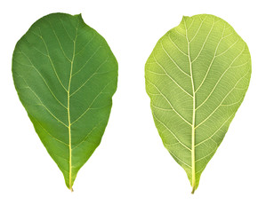 teak leaves on white background(Front and rear)