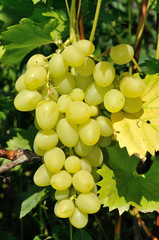 Growing branch of green grape in sunlight