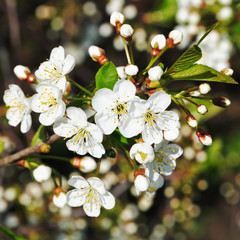 twig of white flowering cherry close up