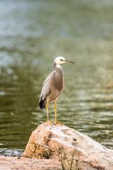 Heron on Rock Vert RHS