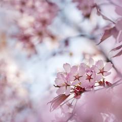 Finnish Cherry Flower